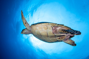 Hawksbill Turtle in Blue Water
