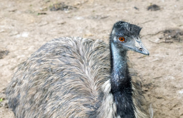 Young ostrich.