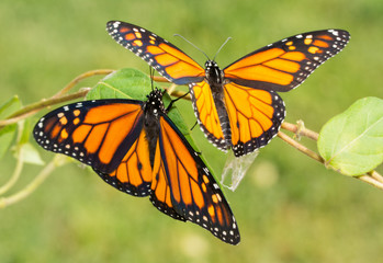 Two newly emerged Monarch butterflies getting ready to fly off for the first time