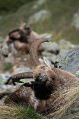 Alpine Ibex nel suo habitat naturale, la montagna