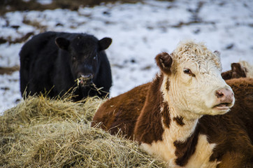 Black and brown and white jersey cows eating hay during a snowy winter