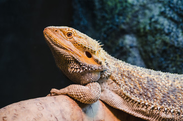 reptile pet bearded dragon resting on a log, basking