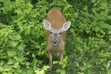 Doe a Deer... /  Female deer surprised by my presence