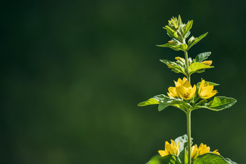 Bright yellow flowers on a dark green background