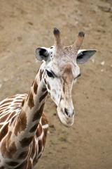 Giraffe in the wild Tanzania Africa