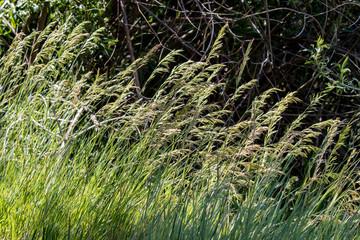 Grasses in La Cienega Picnic Area, Sandia Mountains, New Mexico