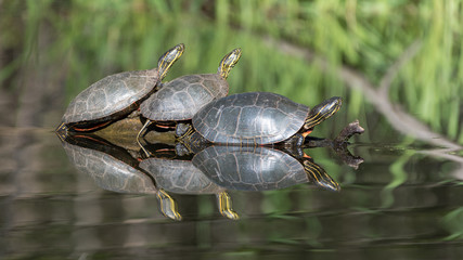 Painted Turtles on Log