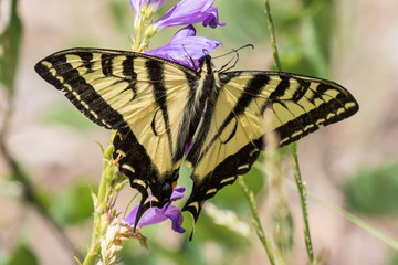 Western tiger swallowtail butterfly on penstamen flowers in Sandia Mountains, central new mexico
