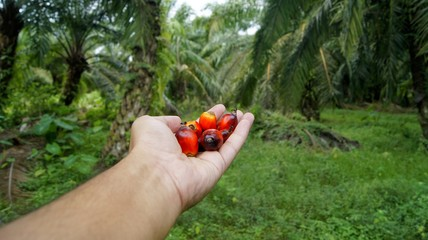 Palm oil seed in hand palm on palm plantation background