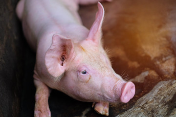 Small piglet in the farm. Pig indoor on a farm yard in Thailand. swine in the stall. Close up eyes and blur.