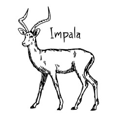 Impala - vector illustration sketch hand drawn with black lines, isolated on white background