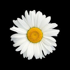 Isolated chamomile flower on black background