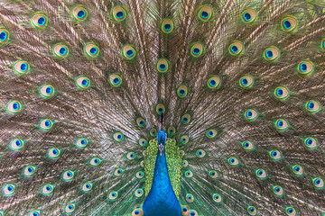 Peacock spreading his tail