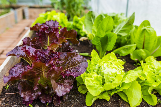 Lettuce and vegetables grown in a greenhouse.