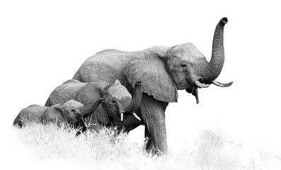 Art, black and white photo of three African Bush Elephants, Loxodonta africana, from adults to newborn calf, coming togther with trunks raised, isolated on white with a touch of environment.Kruger.