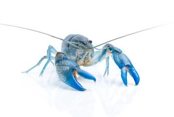 Blue crayfish cherax destructor isolate on white