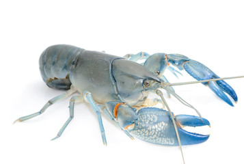 Blue crayfish cherax destructor,Yabbie Crayfish isolate on white