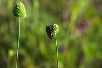 The  beetle sits vertically on a spherical green plant in the field