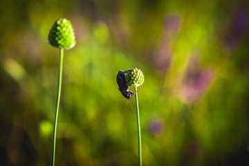 The bug was sitting on a plant of green globular flowers in the field