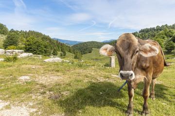Cows feeding on a green summer pasture. Mucca al pascolo estivo.