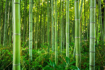 Spoed Fotobehang Bamboo Bamboo forest of Arashiyama near Kyoto, Japan