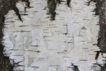Birch bark with beautiful texture for black and white background