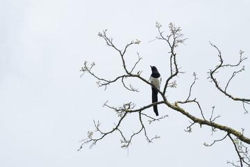 oiseau pie branche