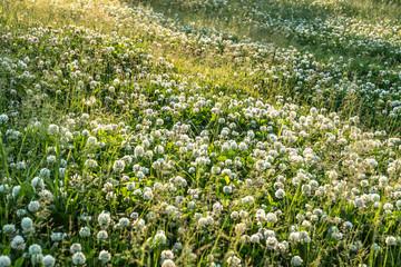 春の草花 シロツメクサ