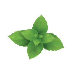 Mint vector illustration. Mint leaves green.