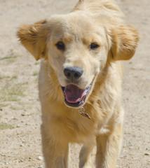 Golden Retriever Puppy Running Toward Camera
