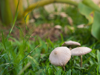 Mushroom in The Lawn