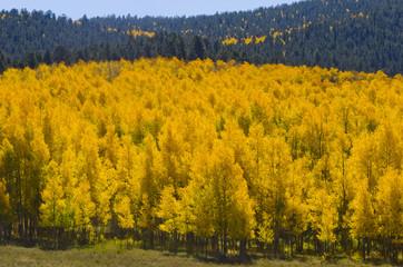 Mountainside Full of Changing Aspen Trees
