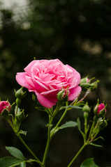 Pink rose in the garden nature
