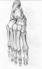 frontal foot bones