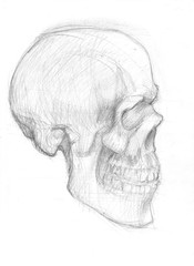 lateral skull sketch