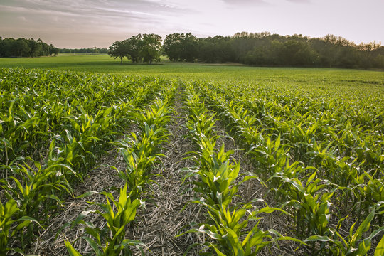 Knee high no-till planted corn in a large Wisconsin field with woods in the background glows in the setting sun