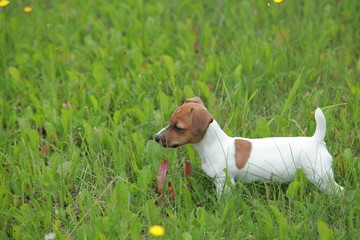 Funny little puppy jack russell terrier