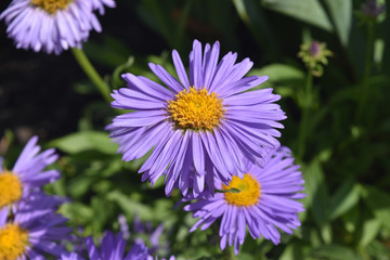Gorgeous Bloomed Aster Flowers Growing In Nature