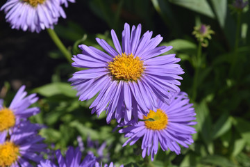 Beautiful Delicate Purple Aster Flowers In Nature
