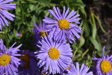 Dainty Bloomed Purple Aster Flowers In Nature
