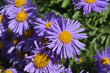Lovely Abundance Of Aster Flowers In Nature