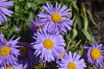 Beautful Bloomed Purple And Yellow Aster Flowers