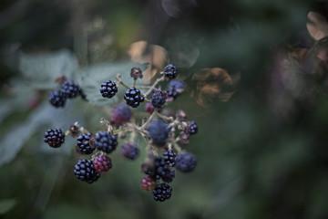 Blackberry branch on bush