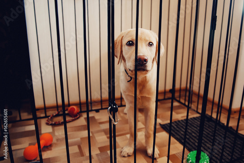 Labrador Dog Is A Golden Retriever Sitting In Cage Valere The Apartment Of House Concept Sad Eyes Loneliness Pain Separation Waiting For