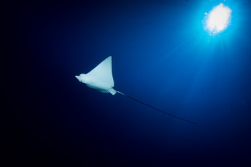 Spotted Eagle Ray - Aetobatus ocellatus - swimming in the blue. Taken in Komodo National Park, Indonesia.