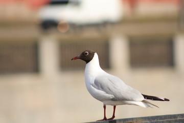 Чайка на парапете