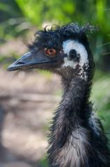 Head portrait of emu