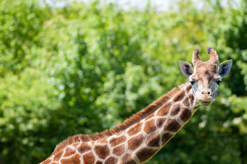 Giraffe (Giraffa camelopardalis) portrait. African wildlife safari image with copy space.