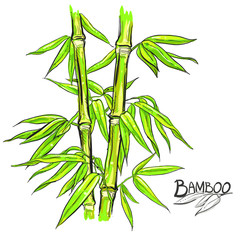 hand drawn illustration with color bamboo stalk and leaves. vector eps 8