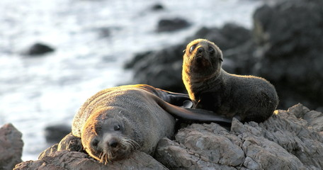 Fur Seal, Mother and Pup